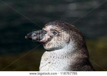 Close up of an humbold penguin animal