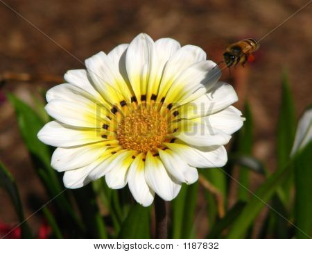 Gazania Yellow Center
