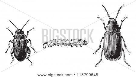 Fig 1,2. Flea beetle with black feet, Fig 3. Cabbage flea beetle, vintage engraved illustration. Magasin Pittoresque 1877.