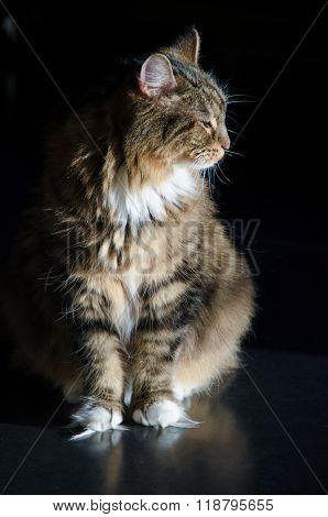 Male Calico Cat In Profile In The Sun