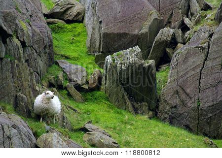Sheep In Snowdonia, Wales