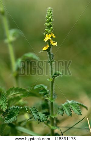 A yellow flower spike of a plant in the rose family (Rosaceae), growing on calcareous grassland poster