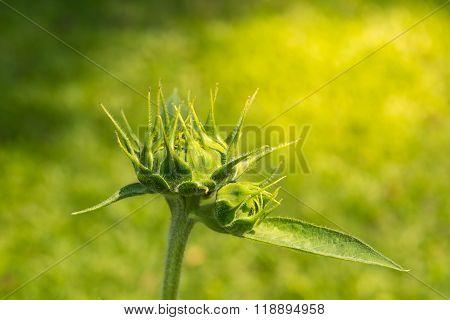 Burgeon Of Sunflower