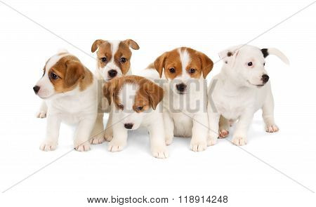 Five Jack Russell Terrier Puppies