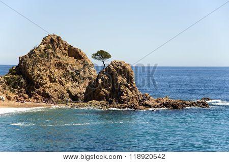 Spain.  Tossa De Mar. A Pine On The Rock.