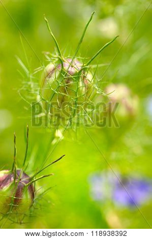 Nigella Seed Capsule, Nigella Sativa. Love-in-the-mist