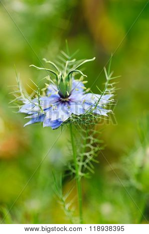 Black Seed, Nigella Sativa, Purple Blue Flower