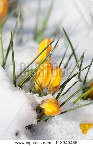 Yellow Crocuses In The Snow