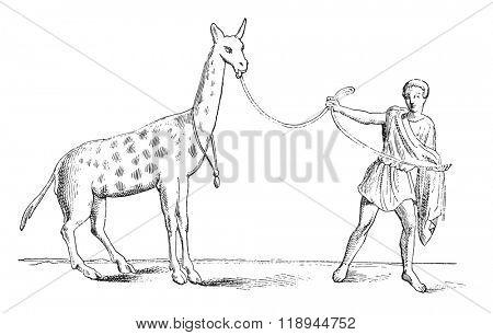 Giraffe tamed, vintage engraved illustration. Magasin Pittoresque 1878.