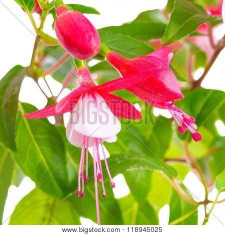 Blooming Red And White Fuchsia Flower Is Isolated On White Background, `shadow Dancer Betty`, Closeu
