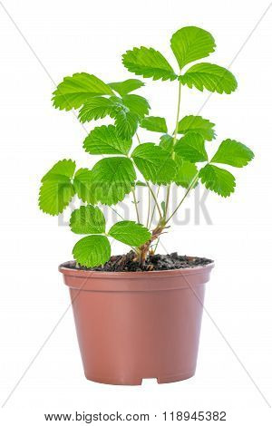 Bush Of Spring Sapling Sprout Strawberry Plant In Plastic Container Is Isolated On White Background