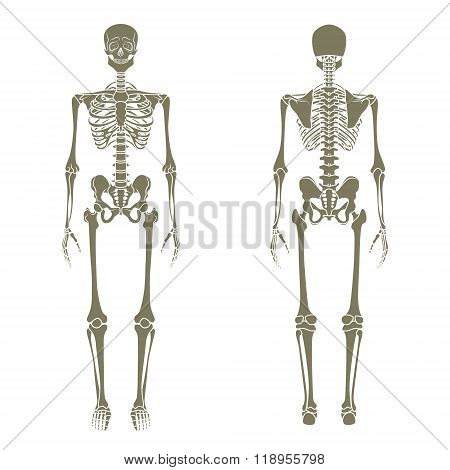 Human skeleton. Didactic board of anatomy of human bony system. The human skeletal system, front and