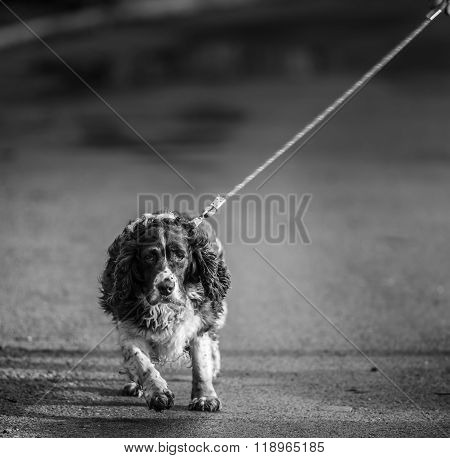 Walking the dog, old english springer spaniel pulling on a lead during a walk.