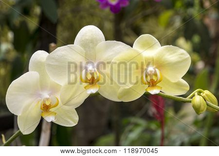 Orchid In The Tropics