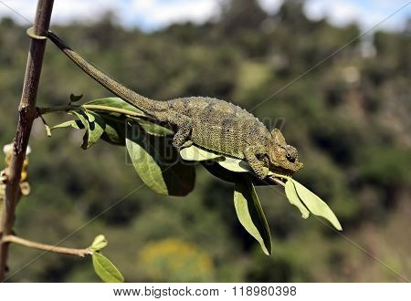 African Chameleon In The Savannah