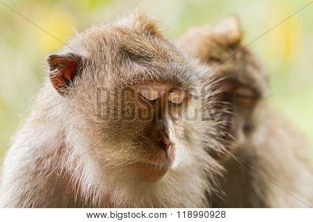 Monkey Sleeps. Close Up Photo Of Monkey's Face. Monkey Forest In Ubud, Bali, Indonesia.