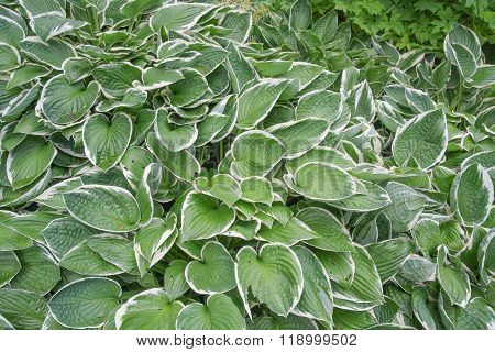 Francee  Hosta plant (Hosta 'Francee')