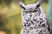 The great horned owl, it is also known as the tiger owl or the hoot owl and is native to the Americas. poster