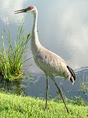 lonely heron bird on al lake at tampa florida poster