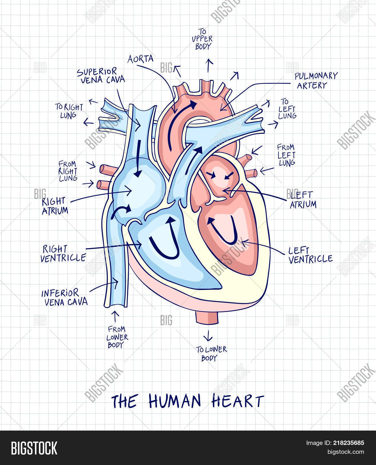 Sketch Human Heart Vector Photo Free Trial Bigstock