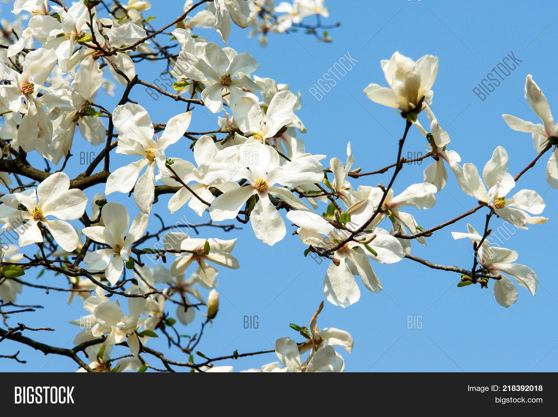 Blossom Magnolia Trees Image Photo Free Trial Bigstock