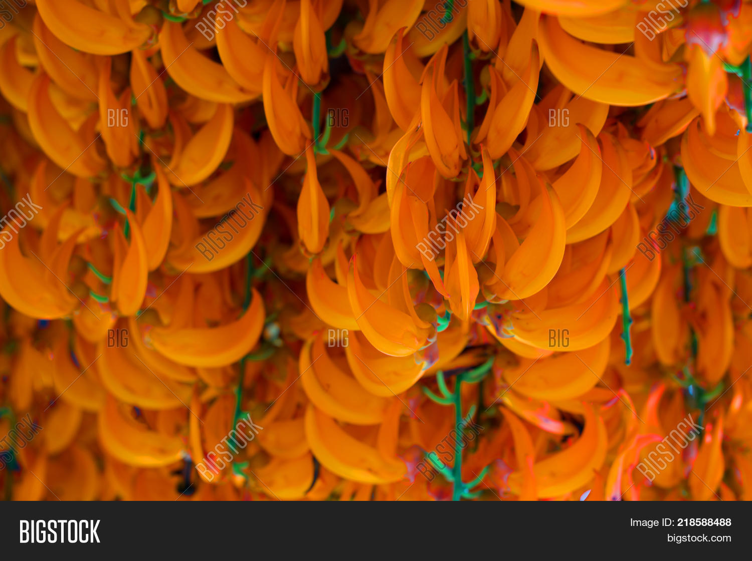 Orange Flower Name Red Image Photo Free Trial Bigstock