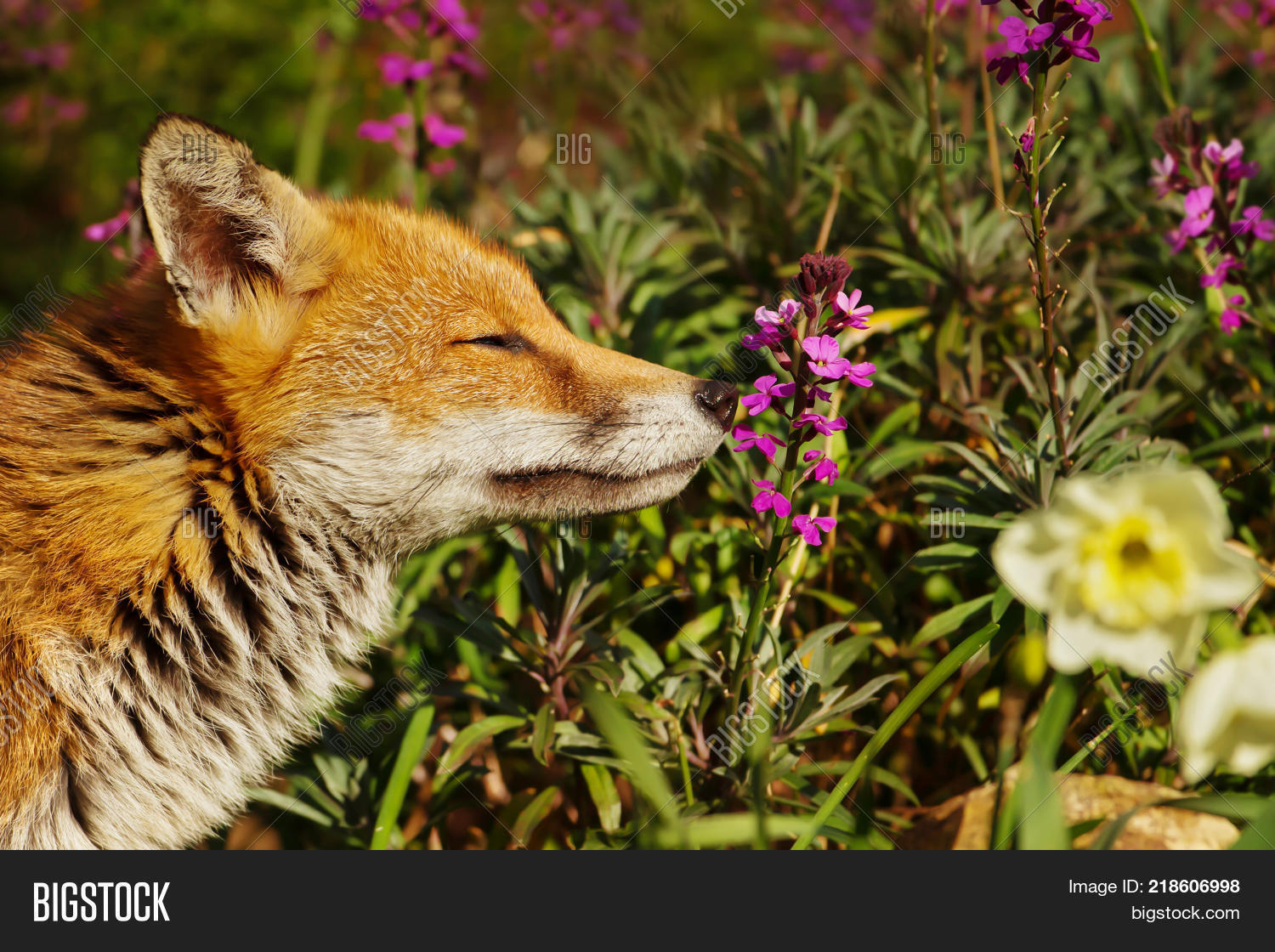 Red Fox Smelling Image Photo Free Trial Bigstock