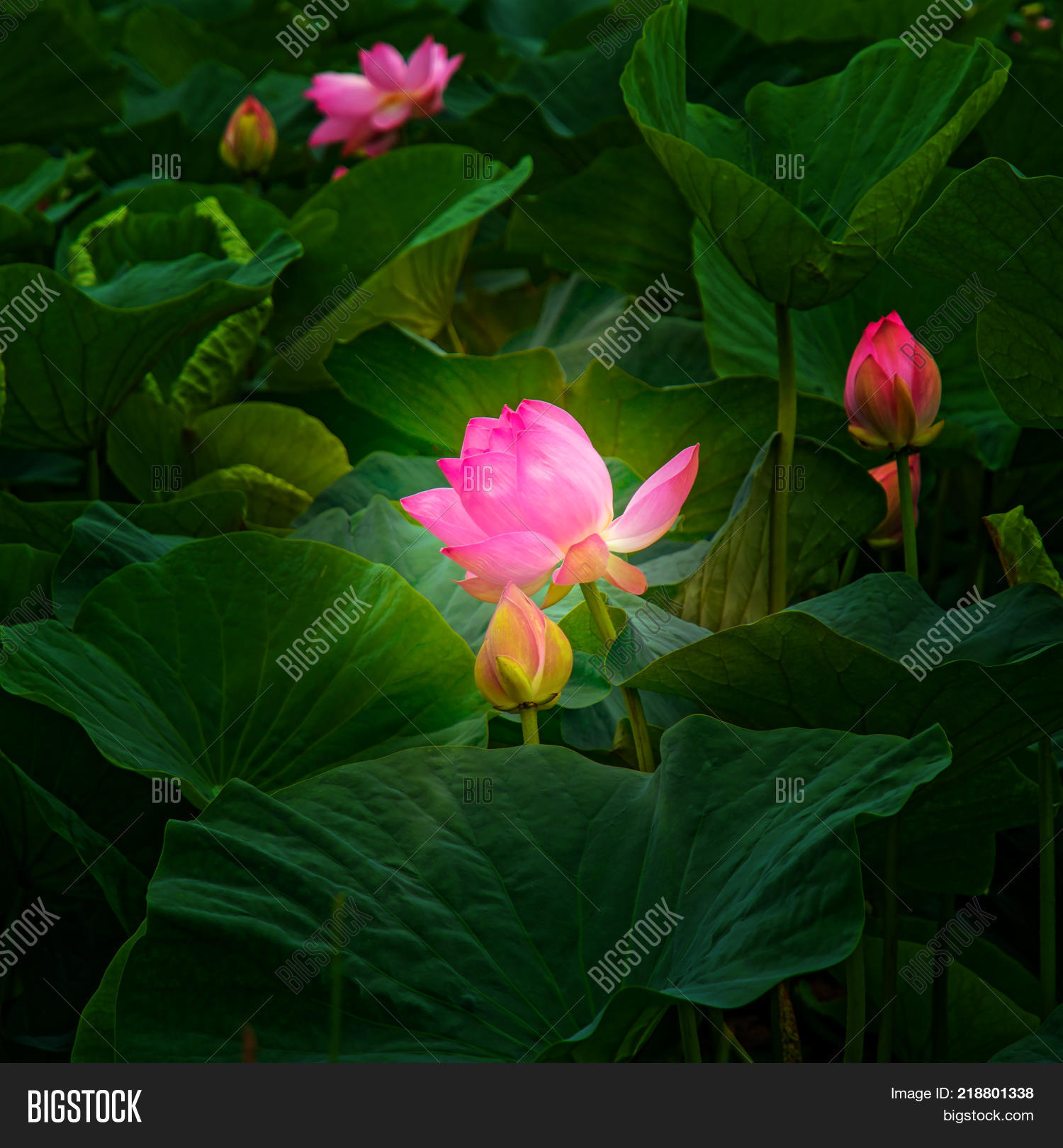 Large lotus flowers image photo free trial bigstock large lotus flowers bright pink buds of lotus flower floating in the lake close mightylinksfo