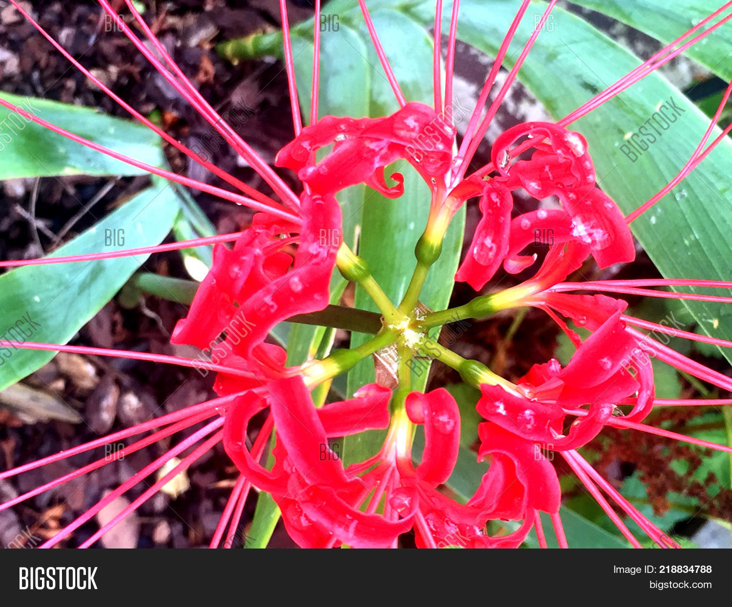 Tropical red spider image photo free trial bigstock tropical red spider lily flower lycoris radiata izmirmasajfo