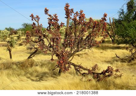 Buckhorm cholla Cactus Cylindropuntia acanthocarpa in Arizona Sonora desert