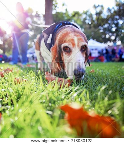 a cute basset hound walking on a leash in a park or yard on the grass with the sun behind him