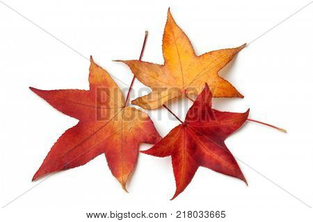 Red autumn leaves of an American sweetgum tree on white background
