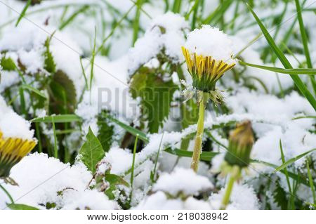 Snow covered dandelions. Sudden snow in may covers green grass and spring flowers. Latvia, Europe.