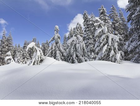 Winter landscape with snowy winter trees in the forest.