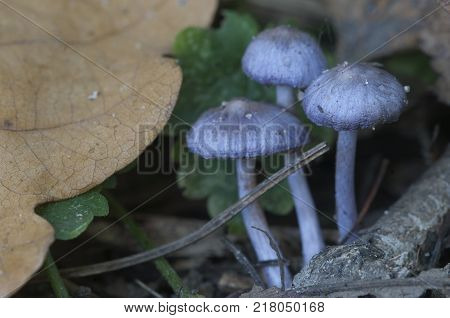 Entoloma sp in a forest close up shot local focus