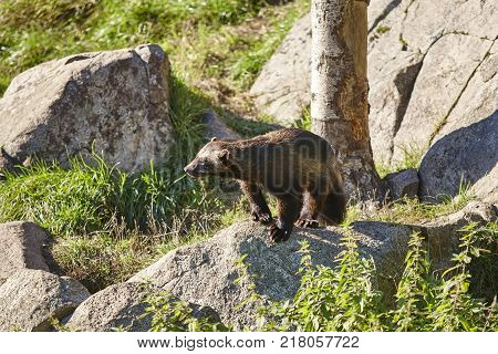 Wolverine on a finnish forest. Finland nature wildlife. Horizontal