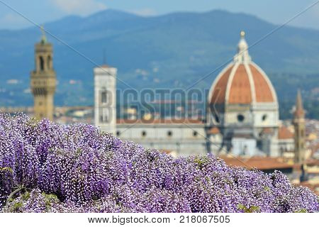 Blooming Wisteria at Bardini Garden in Florence with Cathedral of Santa Maria del Fiore on Background, Florence, Italy