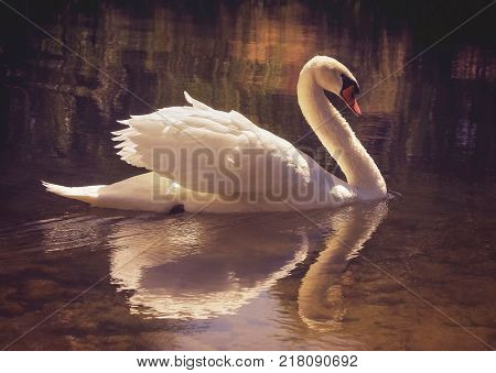 moody image of a beautiful swan swimming in water with a perfect reflection toned with a retro vintage instagram filter app or action effect