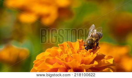 The hard-working bee is pollinated by blackberry, a garden flower.