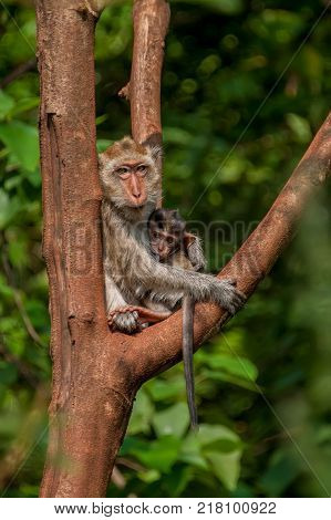 Big monkey feeding baby sitting on a tree in the jungle on a Sunny day. The vertical frame.