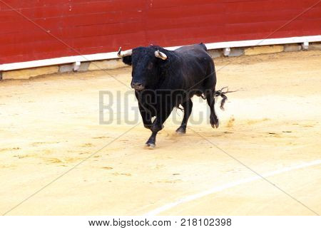 Angry bull Bullfighting. A large Spanish bull fighting