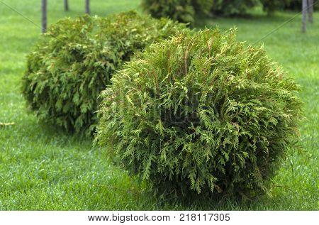 Thuja occidentalis Danica. Decorative garden shrub with a round shape