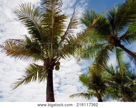 Wide angle view of multiple palm trees with coconuts on a cloudy sky background. Hua Hin Thailand. Travel and holidays concept.