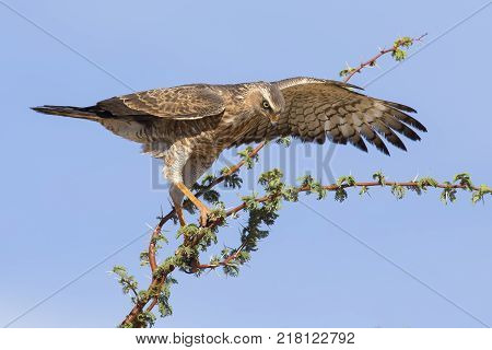 Female Pale Chanting Goshawk sitting in a tree against the blue Kalahari sky