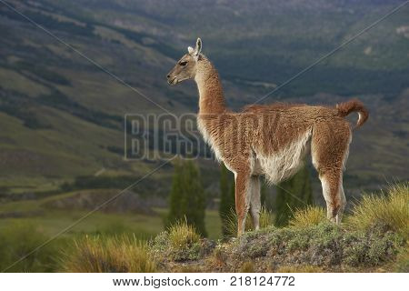 Guanaco (Lama guanicoe) standing on a hillside in Valle Chacabuco, northern Patagonia, Chile.