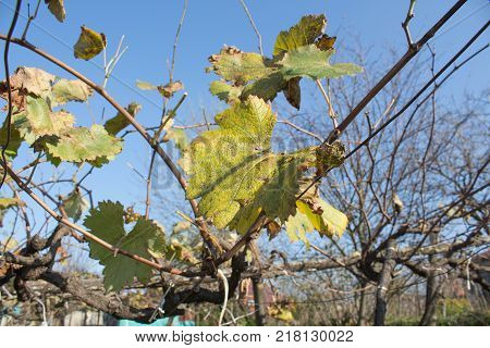 Yellow leaves in autumn sunny day. Photo of grape leaves background autumn after harvest season. Farming nature fall foliage autumnal grapes branch