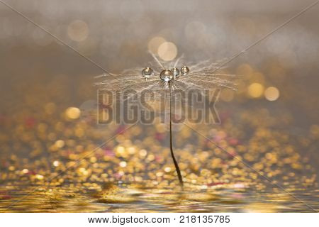 Dandelion with droplets of water on a sparkling gold background