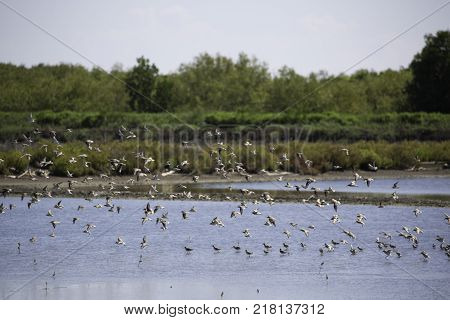 a flock of birds that live in wetland area near the sea and mangrove forest