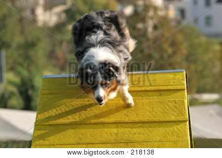 Australian Shepherd On A Frame