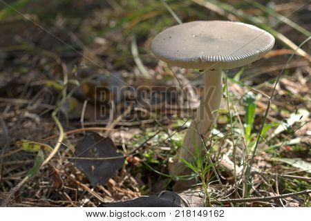mushroom with strongly curved white stem and lead-gray cap with flies on bottom (spore) side